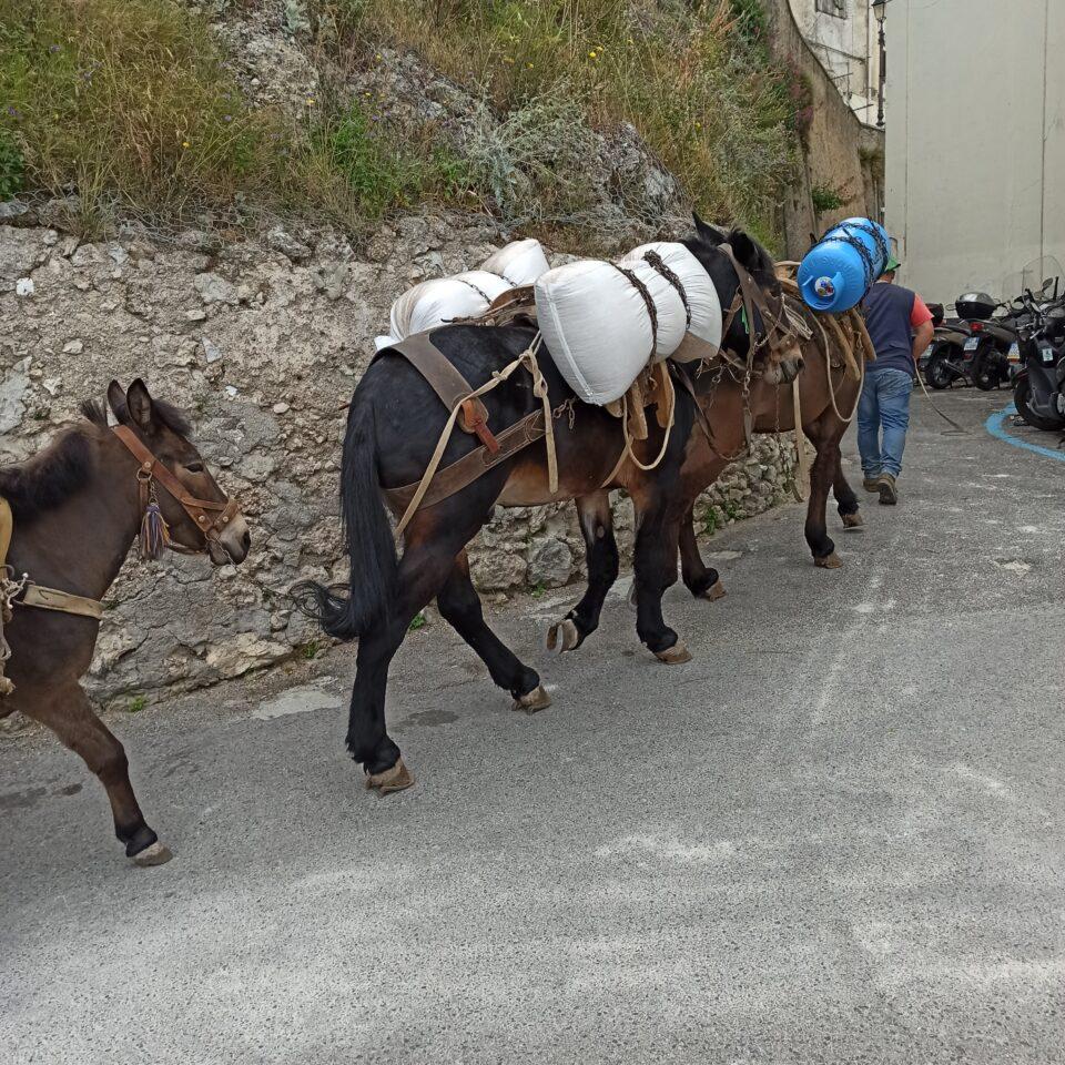 I muli utilizzati sul sentiero dei Limoni